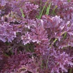 Bladmosterd Purple frills (Biologisch)