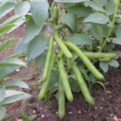 Tuinbonen Ratio (Biologisch)