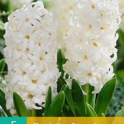 Hyacint Carnegie wit (5 st.)