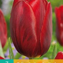 Tulp Couleur Cardinal (7 st.)