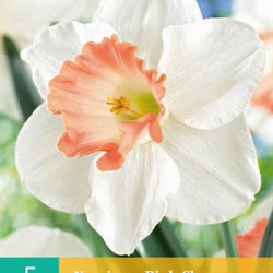 Narcis Pink Charm (5 st.)