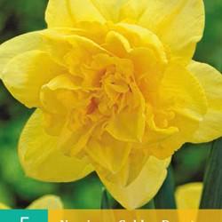 Narcis Golden Ducat (5 st.)