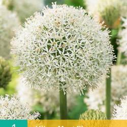 Allium Mont Blanc (1 st.)