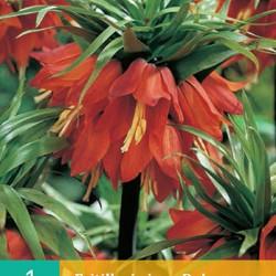 Fritillaria Rubra (1 st.)