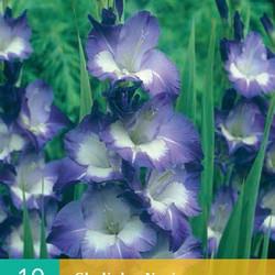 (60920) Gladiolen Nori (blauw) (10 st.)