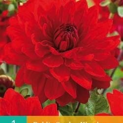Dahlia decoratief Garden Wonder (rood) (1 st.)