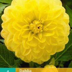 Dahlia decoratief Glory of Heemstede (geel) (1 st.)