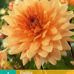 Dahlia decoratief Glorie v. Noordwijk (oranje) (1 st.)