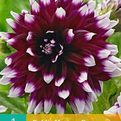 Dahlia decoratief Mistery Day (violet met wit) (1 st.)