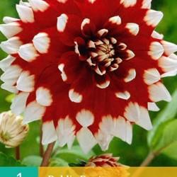 Dahlia decoratief Duet (rood met wit) (1 st.)
