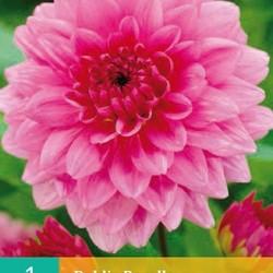 Dahlia decoratief Rosella (roze) (1 st.)