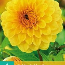 Dahlia Pompon Golden Septer (geel) (1 st.)