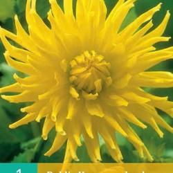 Dahlia Cactus Kennermerland (geel) (1 st.)