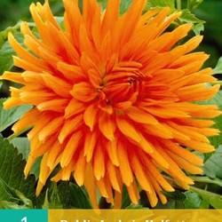 Dahlia Cactus Ludwig Helfert (oranje) (1 st.)