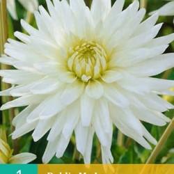 Dahlia Cactus My Love (wit) (1 st.)
