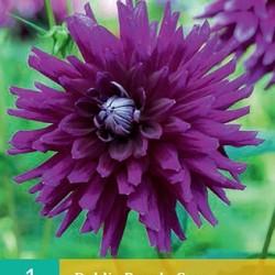 Dahlia Cactus purple Gem (purper) (1 st.)