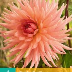 Dahlia Cactus Preference (zalmrose) (1 st.)