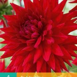Dahlia Cactus Wittemans Best (rood) (1 st.)