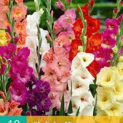 Gladiolen Mix (25 st.)