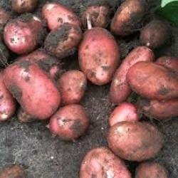 Pootaardappels Alouette (40/55) Biologisch prijs per kg