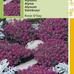 Alyssum / Rosie O'Day