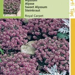 Alyssum / Royal Carpet