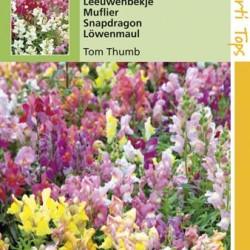 Antirrhinum / Tom Thumb, lage