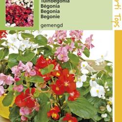 Begonia / Semperflorens