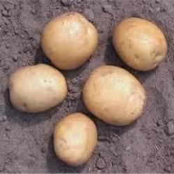 Pootaardappels Parel (28/40) prijs per kg