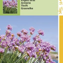 Armeria / Engels gras