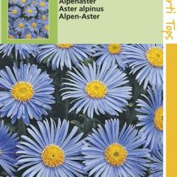 Aster / Alpenaster