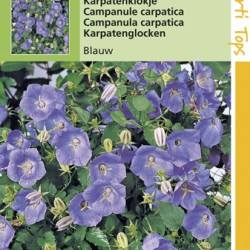 Campanula / Karpatenklokje