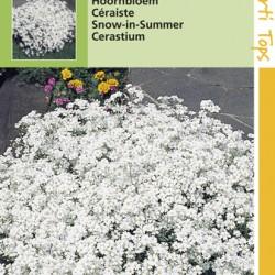 Cerastium / Hoornbloem