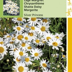 Chrysanthemum / Margriet Zilverprinsesje