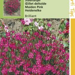 Dianthus / Steenanjer