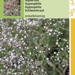 Gypsophila / Gipskruid