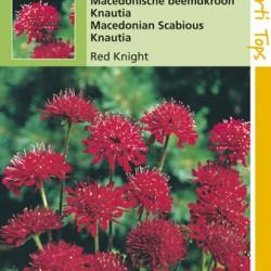 Knautia / Red Knight