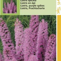 Liatris / Spicata