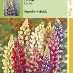 Lupinus / Lupinen Russel hybride