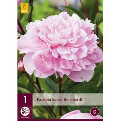 (61030) Pioenroos Sarah Bernardt (rose)