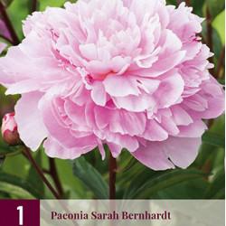 Pioenroos Sarah Bernardt (rose)