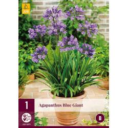(61010) Agapanthus blue giant (1 st.)