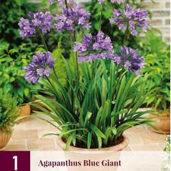 Agapanthus blue giant (1 st.)