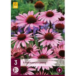 (61020) Echinacea purpurea (3 st.)