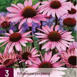 Echinacea purpurea (3 st.)