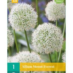 Allium Mount Everest (1 st.)