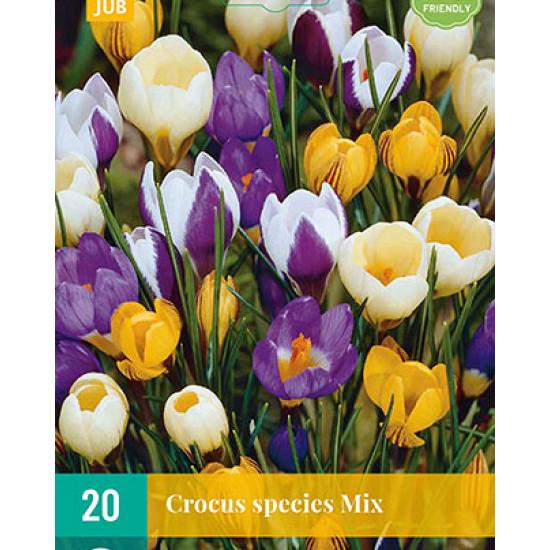 Crocus Species Mix (20 st.)