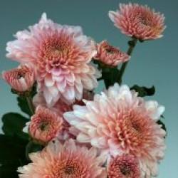 Chrysanten Gompie Pink kleinbloemig