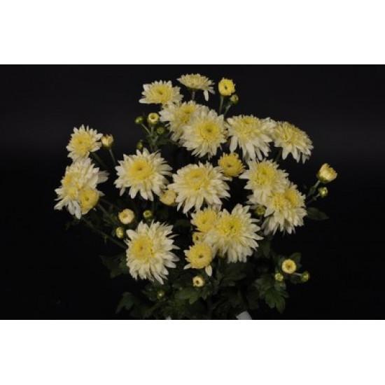 Chrysanten Gompie White kleinbloemig