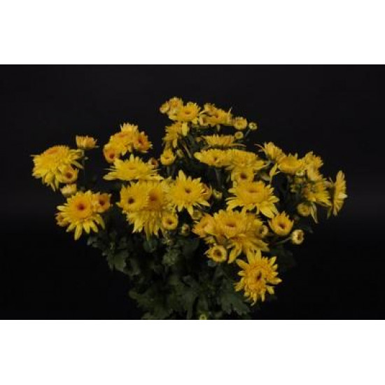 Chrysanten Gompie Yellow kleinbloemig